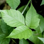 Watch out! Poison ivy could be a real pain for kids this summer